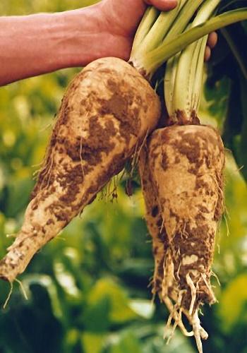 รากชิโครี่ (Chicory Root)
